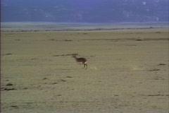 Springbok Namib Desert - stock footage