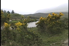Stream and gorse in Ireland - stock footage
