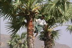 Tapping palm sugar Myanmar Stock Footage