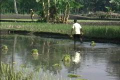Transplanting rice Java Stock Footage