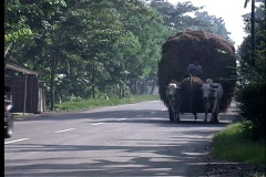 Ox cart in Java Stock Footage