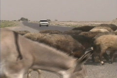 Stock Video Footage of Turkmenistan Sheep & donkey cross road
