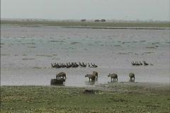 Venezuela Birds & capybaras Stock Footage