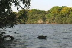 Venezuela Caiman (related to alligator) Stock Footage