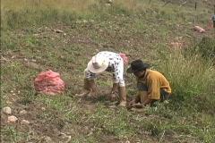 Men harvesting potatoes Stock Footage