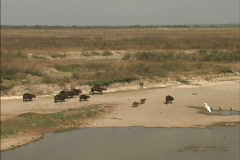 Venezuela Llanos with capybaras Stock Footage