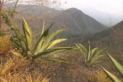 Maguey in the Andes foothills Venezuela Stock Footage