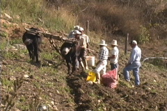 Venezuela potato harvest Stock Footage