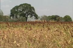 Sorgum crop in Venezuela Stock Footage