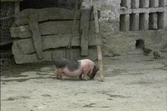 Vietnam Pot bellied pig Stock Footage