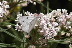 White Cabbage butterfly Stock Footage