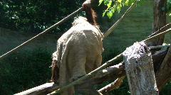 Orangutan male wearing burlap sack  849-1 Stock Footage