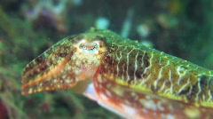 Cuttlefish HD Stock Footage