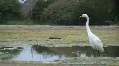 Great White Egret Fishing Stock Footage