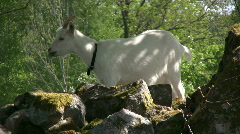 Goat eating on a branch Stock Footage
