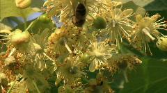 Honey bee Stock Footage