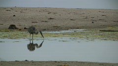 Heron Fishing With Egret With Snowy Egret In Background Stock Footage