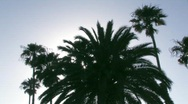 Stock Video Footage of Silhouetted palm trees
