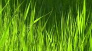Windy Grass II. Stock Footage