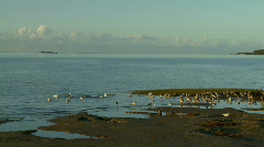 Wader Birds Feeding on Incoming Tide, Moreton Bay Stock Footage