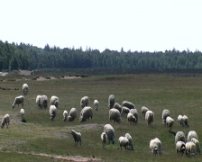 Sheep on the Ginkel Heath, 1944 dropzone near Ede and Arnhem Stock Footage