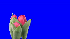 Time-lapse of growing red tulips blue chroma key 4ck Stock Footage