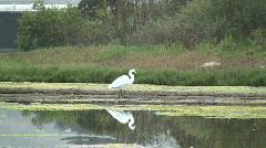 Snowy Egret Walking In Wetland Stock Footage