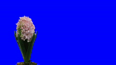 Time-lapse growing pink hyacinth Christmas flower 1ck blue chroma key Stock Footage