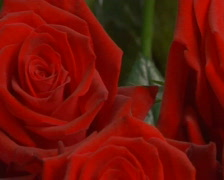 red roses - stock footage