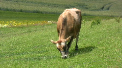 Jersey cow at pasture in changing light Stock Footage