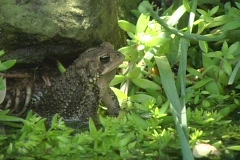 American Eastern Toad Sitting Up Stock Footage