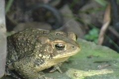 American Eastern Toad Crouching - stock footage