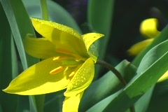Wild Yellow Lilies 04 Stock Footage