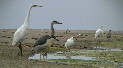 Birds Standing On Edge of Wetland Stock Footage