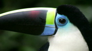 Stock Video Footage of Toucan