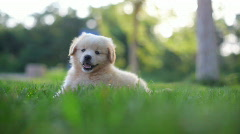 Puppy - stock footage