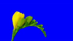 Time-lapse of opening yellow freesia flower 1ck blue chroma key  Stock Footage