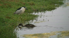 Black Crowned Night Heron And Duck At Water's Edge Stock Footage