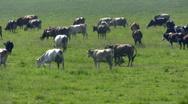 Herd of cows. Stock Footage