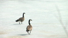 Two adult Canada geese on ice during spring breakup in warm sunshine. Stock Footage
