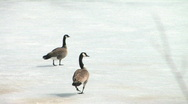 Stock Video Footage of Canada geese on ice no sound 002
