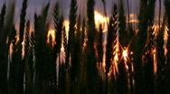 Wheat ears on sunset V. Stock Footage
