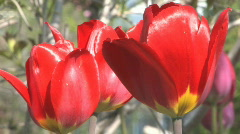 Tight shot of two red tulips gently waving in bright spring sunshine Stock Footage