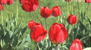 Red tulips waving in wind against green lawn Stock Footage