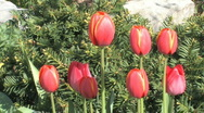 Stock Video Footage of Spring tulips 005