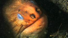 Moray Eel HD Stock Footage