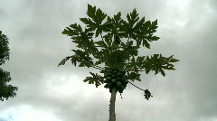 Clouds & Papaya TreeTime Lapse Stock Footage