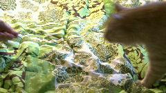 Orange Cat Brushed Stock Footage