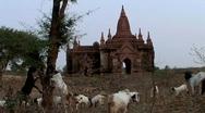 Stock Video Footage of Goats roaming Pagodas in Bagan, Burma Myanmar