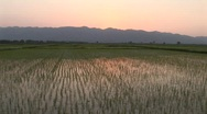 Stock Video Footage of rice fields at sunset